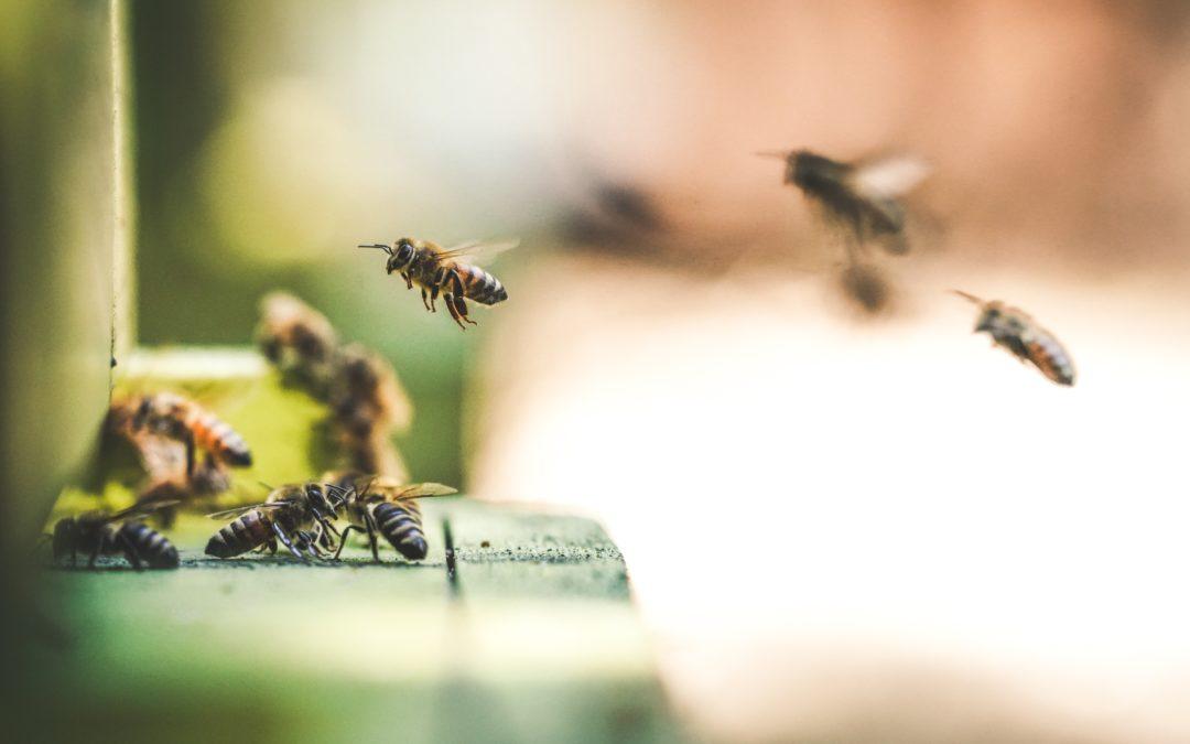 Tilleul argenté, tueur d'abeilles ?
